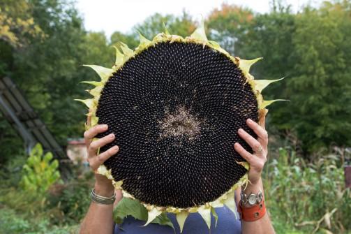 deb sunflower