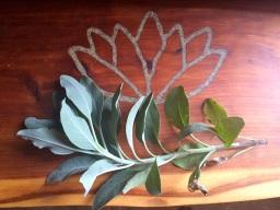 lotus sage